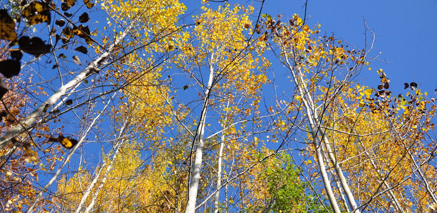 Quaking Aspen at the Sunshine Coast Botanical Garden