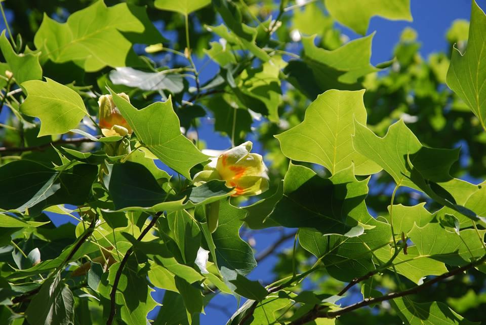 Liriodendron tulipifera tree